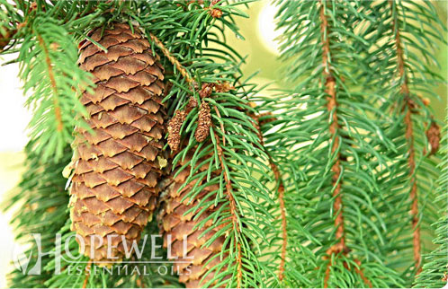 spruce black singles Spruce problems are probably caused by more than a single agent  today we are witnessing the branches of spruce trees – colorado blue, white (black hills),.