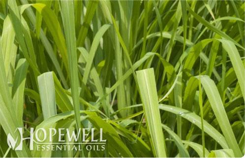 Hopewell Essential Oil Citronella Java Essential Oil