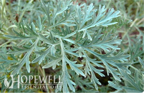 Hopewell Essential Oil Davana Essential Oil Immune