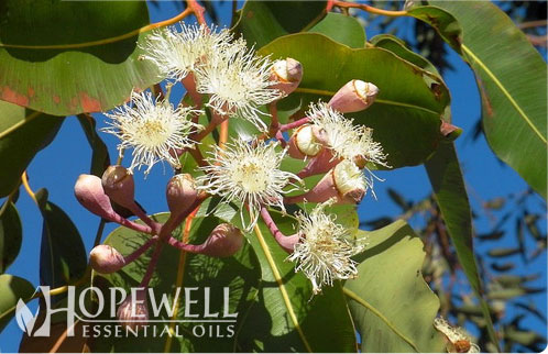 Hopewell Essential Oil Eucalyptus Dives Essential Oil