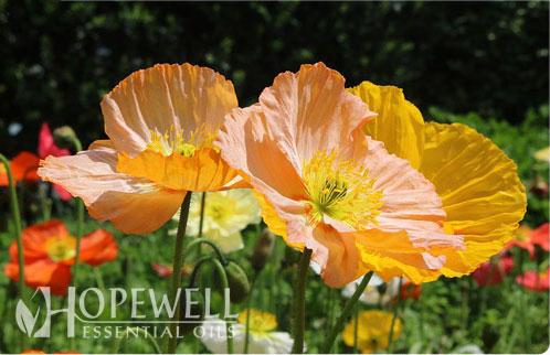 Hopewell Essential Oil Gentle Joy Essential Oil Blend