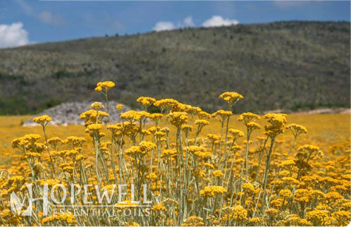 Hopewell Essential Oil - Helichrysum (Immortelle) Essential