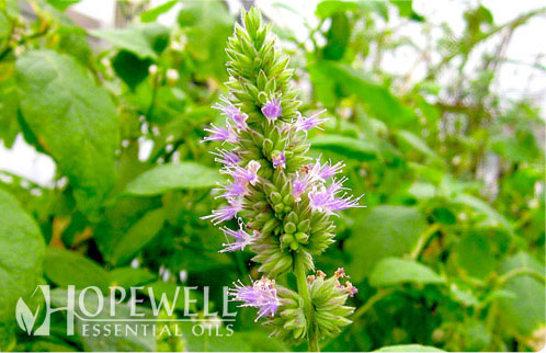 Hopewell Essential Oil Patchouli Essential Oil Acne