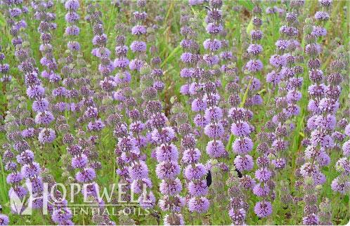 Chemical Composition Of Mentha Pulegium L Pennyroyal: Hopewell Essential Oil - Pennyroyal Essential Oil