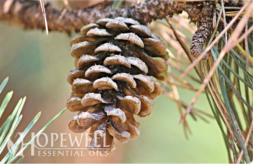 Hopewell Essential Oil - Turpentine Essential Oil | Top Quality